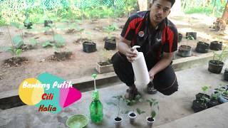 cara-cara merawat daun kerinting pada pokok cili