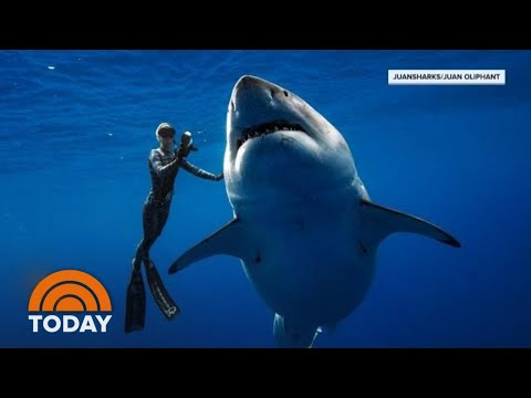 Xxx Mp4 Hawaii Diver Swims With Record Breaking Largest Great White Shark TODAY 3gp Sex