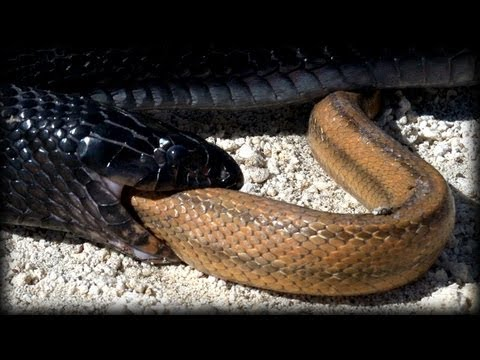 Xxx Mp4 Indigo Snake Eats Rat Snake 01 Snake Vs Snake 3gp Sex
