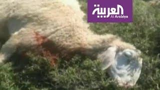 إسرائيليون يعتدون على راعي أغنام ويقتلون غنمه