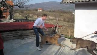 Srpski Odbrambeni Pas-Borba Pasa