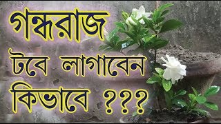 How To Grow Gardenia Flower Plant | গন্ধরাজ ফুল গাছ টবে লাগানোর পদ্ধতি