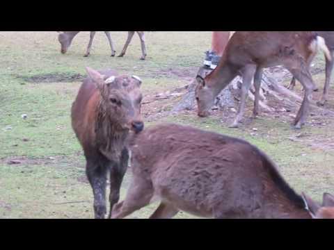 The Horny Deer at Nara Park