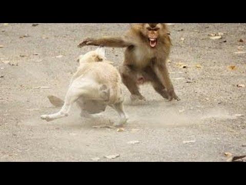 Dog vs Monkey Fight Dog vs Monkey Real Fight