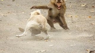 Dog vs Monkey Fight,Dog vs Monkey Real Fight