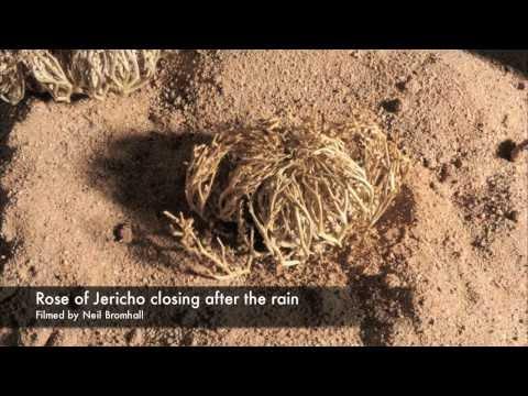 Life cycle Rose of Jericho resurrection plant time lapse