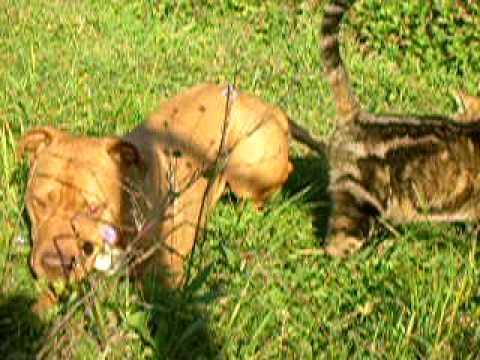 chat vs pit bull le combat du siècle