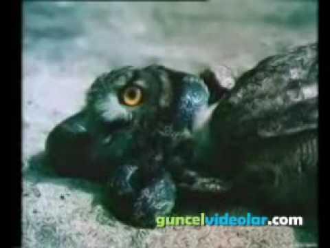 Baykuş İle Yılanın Kapışması