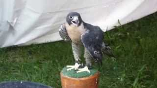 At The NYS Fair With Hawk Creek Wildlife Center - Peregrine Falcon