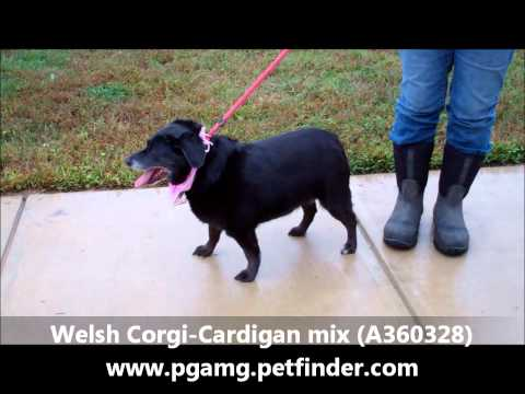 adopted!!!!   WELSH CORGI-CARDIGAN MIX.6YR OLD FEMALE (A360328)