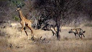 Dramatiske opptak: Babysjiraff jages av hyener