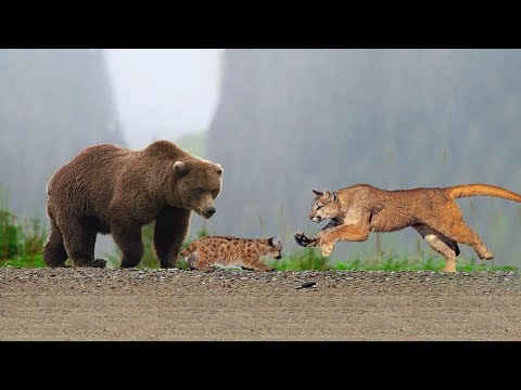 Xxx Mp4 Amazing Mother Puma Protect Her Baby From Grizzly Bear Hunting 3gp Sex