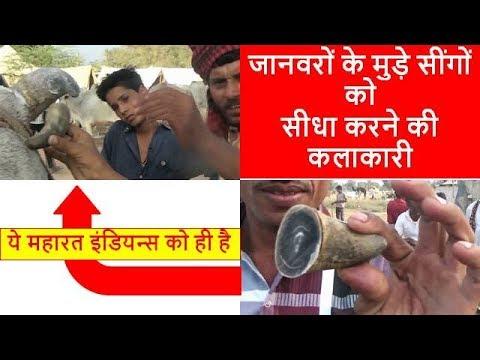 Street Job In The Village Of India - Ox Horn Repair- Nagaur, Rajasthan