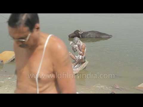 Indian hindu pilgrims bathing in the Ganges river: Varanasi