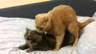 That hurts-cat mating goes wrong