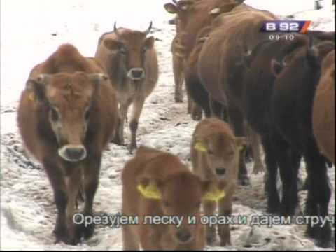 Prilog o najvecem stadu krava busa na Balkanu