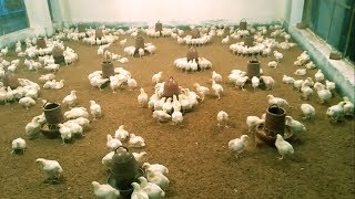 Easy Broiler Chicken Farming Process ||General Way Poultry Farming Business in Bangladesh