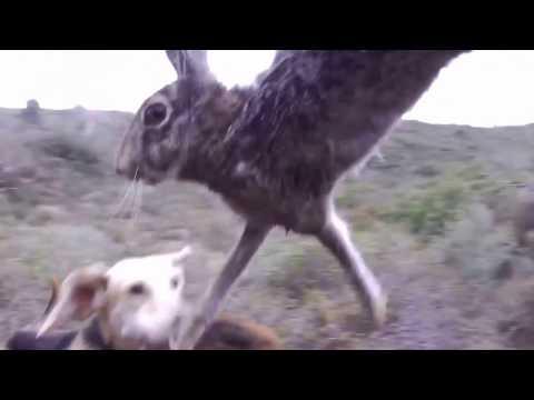 Κυ� ήγι λαγού Ρόδος Hare hunting Rhodes 10 καλύτερες φάσεις από τα πρώτα μου βί� τεό