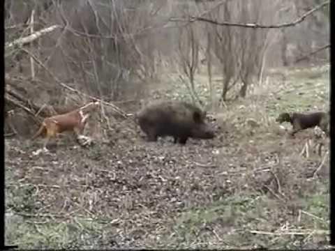 Posavski gonic i srpski gonic rad na d.svinju