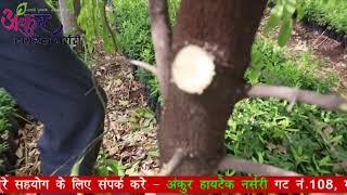 Sandalwood cutting ( pruning) Hindi