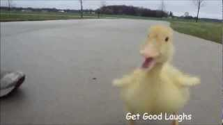 Hilarious Little Duck Is Following Man   Funny VIDEO   GGL