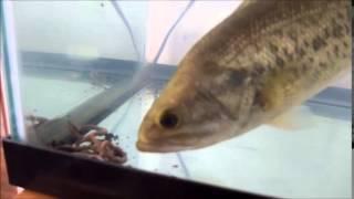 HaruHaruma バスがミミズを食べる Bass Eats Worms
