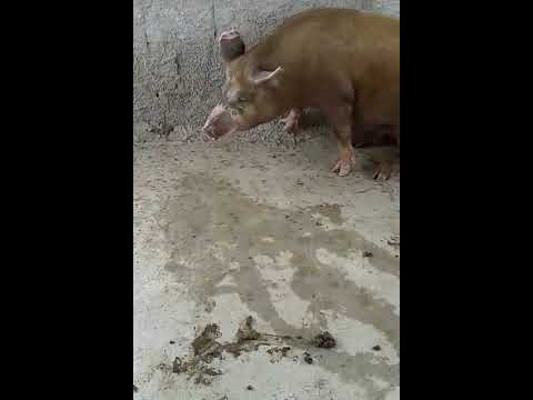 Cruzamento de porco