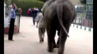 خروج  فيل وسط الناس في حديقة الحيوان