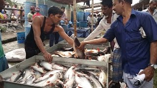Incredible Big Fish Whole Sale Market | Most Of The Fishes Are Alive & Fresh In Dhaka Bangladesh