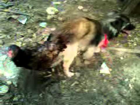 cachorro cruza com galinha
