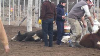 Young bulls being castrated