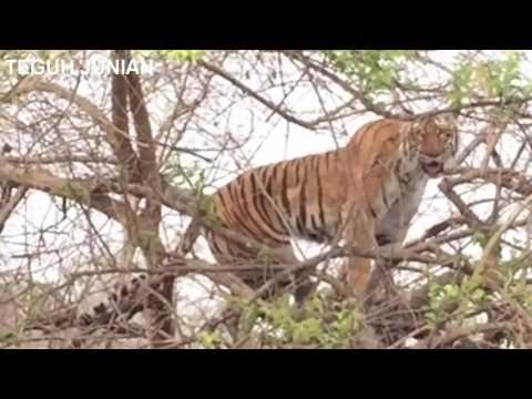 lihat hewan ini melakukan sesutu untuk terhindar dari sang predator harimau