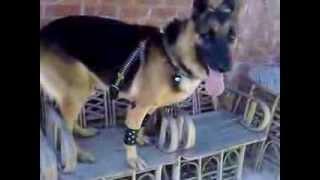 كلب مدرب على مستوى عالي