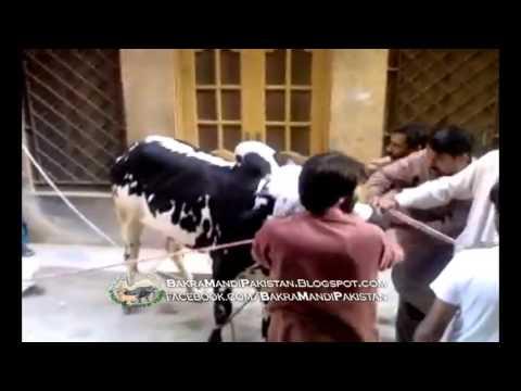 Bull Control say BAAHAR DANGEROUS BULL