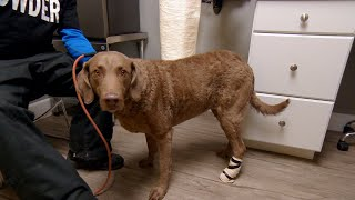This Dog's Adventures Could Be Numbered After A Nasty Snowboarding Injury