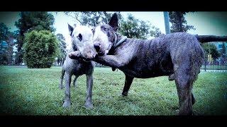 bull terrier vs bull terrier fight
