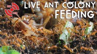 Live ANT COLONY Feeding!