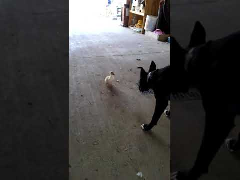 Muscovy Duckling (Prodigy) & Val the Dog at Functional Rustic