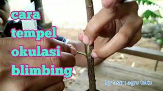 Cara tempel belimbing atau okulasi belimbing oleh team agro toko