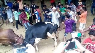 গরুর লড়াই * Tradition Of Kazir Dewry *