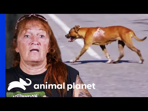 Attempting A Difficult And Dangerous Rescue On The Edge Of A Highway Pit Bulls & Parolees