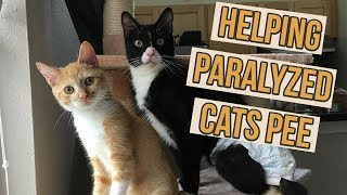 How to Help Paralyzed Kittens Pee