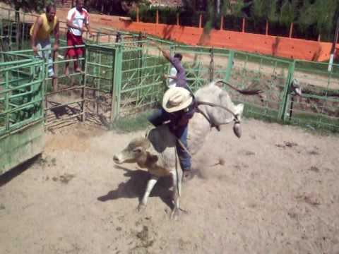 touro de rodeio araça