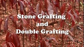 Stone Grafting & Double Grafting