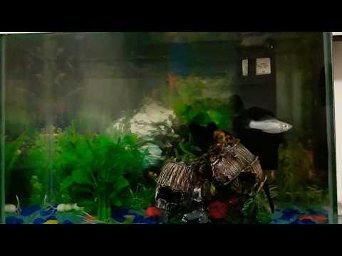 Moli,Zebra Akvaryumu Ve Moli yavruları #Lepistes #molibalığı#Zebrabalığı