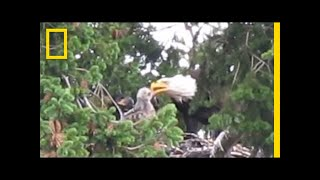 Usually Enemies, Bald Eagles Adopt Red-Tailed Hawk Chick   National Geographic