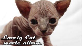 【猫】かわいい子猫 成長日記 スフィンクスの赤ちゃん<陣痛~出産~授乳>【 貴重映像】