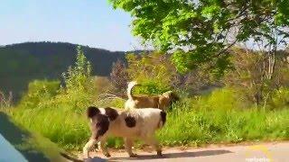 Крави край Чокманово