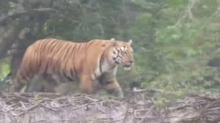 দেখুন সুন্দর বনের বাঘ শিকারের ভিডিও!video of tiger hunter Sundarbon,Khulna