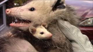 Mother Opossum and babies removed from shed
